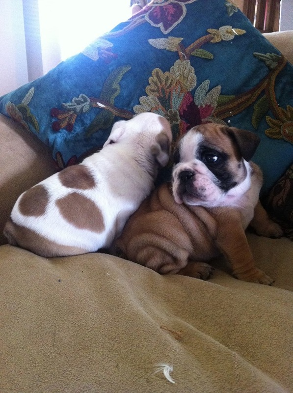 Miniature Bulldogs For Sale English Bulldog Breeder Rare Colored