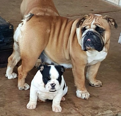 Miniature Bulldogs For Sale Amp English Bulldog Breeder Rare